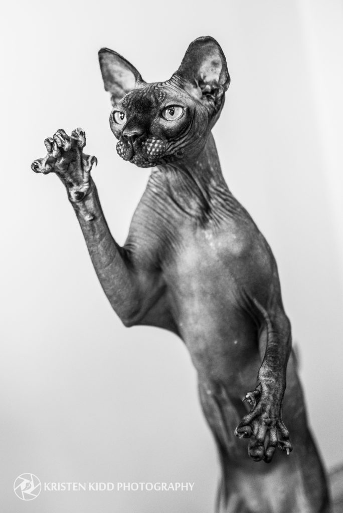 sphynx cat in philadelphia pet photo session with Kristen Kidd Photography
