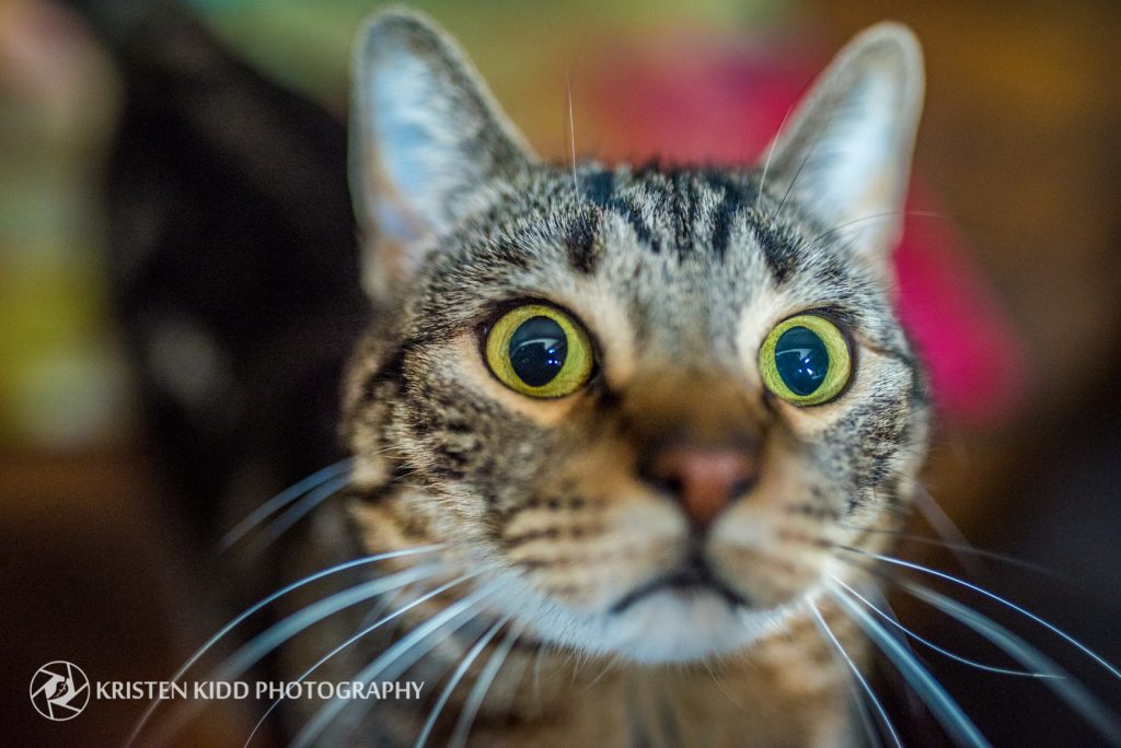 cat photo session in new jersey Kristen Kidd Photography